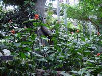 Costus scaber (sold in hort. as Costus spicatus) at US Bot. Garden Conservatory, Washington, DC  - Click to see full sized image