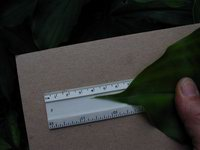 Costus scaber (sold in hort. as Costus spicatus)  leaf apex - Click to see full sized image