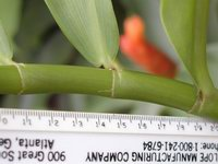 Costus scaber (sold in hort. as Costus spicatus)  ligule - Click to see full sized image