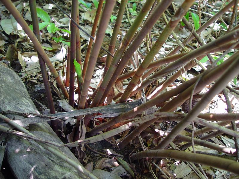 Photo# 11691 - Costus comosus 'Cliff Dweller' -  Cabo Matapalo near Cabo Matapalo, Osa Peninsula, Costa Rica base stems
