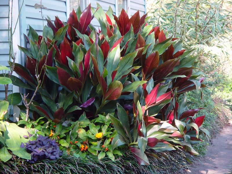 Photo# 11737 - Costus 'El Whiskey' , forms a large clump