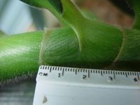 Costus 'El Whiskey'  ligule - Click to see full sized image