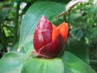 Costus  'Darth Vader' - Click to see full sized image