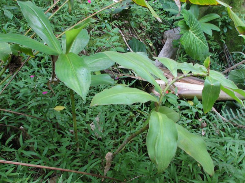 Photo# 12742 - Costus sp. at Lyon Arboretum, Oahu, Hawaii  - basal bloomer from Costa Rica & Panama