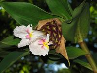 Costus aff. 'El Gato' from Colombia at the National Tropical Botanical Garden, Kauai, Hawaii  #740505 - Click to see full sized image