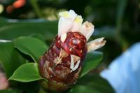 unidentified Costus aff. amazonicus at the National Tropical Botanical Garden, Kauai, Hawaii  - Click to see full sized image