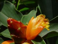 Costus 'Tico Sunrise' - Click to see full sized image
