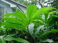 Costus 'Tico Sunrise'  foliage - Click to see full sized image