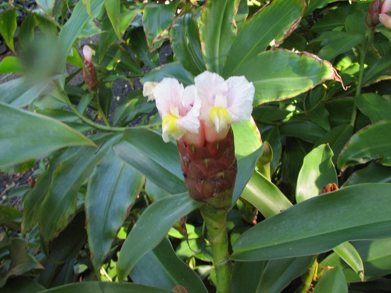 Photo# 12798 - Costus similar to  'Tropicais' from Gardner Waters at the National Tropical Botanical Garden, Kauai, Hawaii  #990327