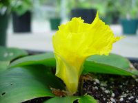 Costus spectabilis at Smithsonian US Bot. Research Greenhouse, Washington, DC USBRG#96-284 - Click to see full sized image