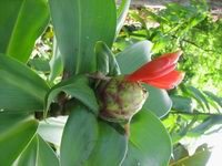 Costus sp. aff. spiralis at Waimea Audubon Center, Oahu, Hawaii  #75S151  - Click to see full sized image