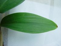 Costus talbotii  leaf - Click to see full sized image