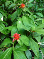 Costus 'barbatus dwarf' (cultivar name - not related to the species C. barbatus) - Click to see full sized image