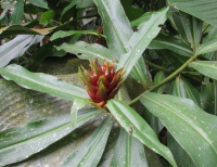 Costus aff. claviger 'Marco's Pride' - Click to see full sized image