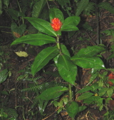 Costus aff. curvibracteatus form from Pocosol, Costa Rica - Click to see full sized image