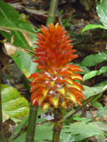 Costus sp. nov. aff. curvibracteatus basal flowering form from Panama - Click to see full sized image