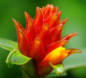Costus barbatus - young inflorescence - Click to see full sized image