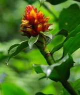 Costus barbatus - Click to see full sized image