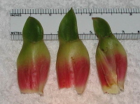 Costus bracteatus, Shiroles, Costa Rica - bracts - note red color of bracts vs. white color in other collections - Click to see full sized image