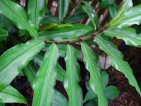 Costus claviger - ligules - Click to see full sized image