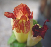 Costus claviger, short, basal flowering form - Click to see full sized image