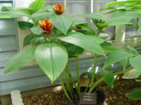 Costus  'Firebird' - - Click to see full sized image