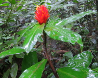 Costus curvibracteatus (red bracts) Cerro Gaital, Panama - Click to see full sized image