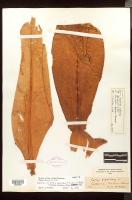 Herbarium sheet 2, Costus gigantea syntype at NYBG - Click to see full sized image