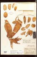 Herbarium sheet 3, Costus gigantea syntype at NYBG - Click to see full sized image