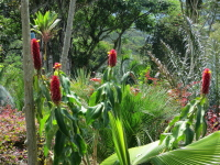 Costus comosus  cultivated form known as barbatus -in Colombia - Click to see full sized image