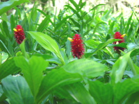 Costus comosus  cultivated form known as barbatus - Click to see full sized image