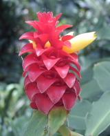 Costus comosus  cultivated form known as barbatus - at Selby Botanical Gardens, Sarasota, FL - Click to see full sized image