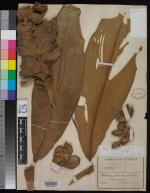 Herbarium sheet, Costus maximus at USNH - Click to see full sized image