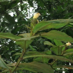 Costus allenii from Rio Guanche, Panama - Click to see full sized image