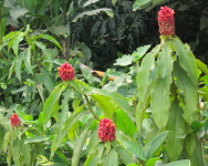 Costus lima at Nirvana, Colombia - Click to see full sized image
