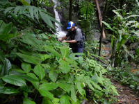 Costus osae at Quebrada Aqua Buena, Osa Peninsula, Costa Rica - Click to see full sized image