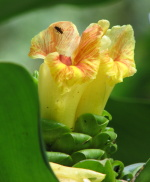 Costus guanaiensis var. tarmicus at Wamea Gardens, Hawaii - Click to see full sized image