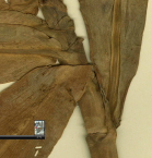Costus laevis holotype at Barcelona, Spain herbarium, ligule and petiole detail - Click to see full sized image