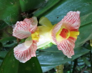 Costus laevis at Rio Guanche, Panama - Click to see full sized image