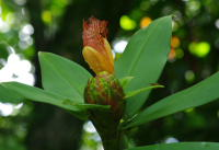 Costus laevis at Cabo Matapalo, Costa Rica - Click to see full sized image