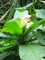 Costus guanaiensis at Rio Piedra, Panama - Click to see full sized image