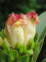 Costus guanaiensis at Jardin Botanico del Pacifico, Bahia Solano, Colombia - Click to see full sized image