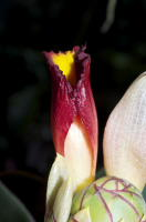 Costus vinosus at John Mood garden - Click to see full sized image
