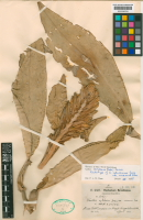 Costus acreanus lectotype specimen at Kew Gardens, collected by  Ule in 1911 along the Rio Acre in Peru near the border with BoliviaandBrazil. - Click to see full sized image