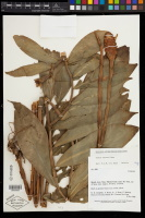 Costus sprucei, NYBG herbarium - Click to see full sized image