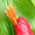 Costus geothyrsus, from Hacienda Clementina, Ecudor.  Photo by Bertil Stahl - Click to see full sized image
