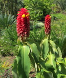 Costus comosus  cultivated form known as barbatus - at Sr. Colonje's garden in Colombia.  Plants look similar to the cultivated