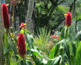 Costus comosus  cultivated form known as barbatus - at Sr. Colonje's garden in Colombia. - Click to see full sized image
