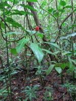 Costus ricus at Los Planes, Osa, Costa Rica - Click to see full sized image
