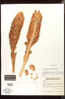 Costus beckii type specimen from Bolivia - Click to see full sized image
